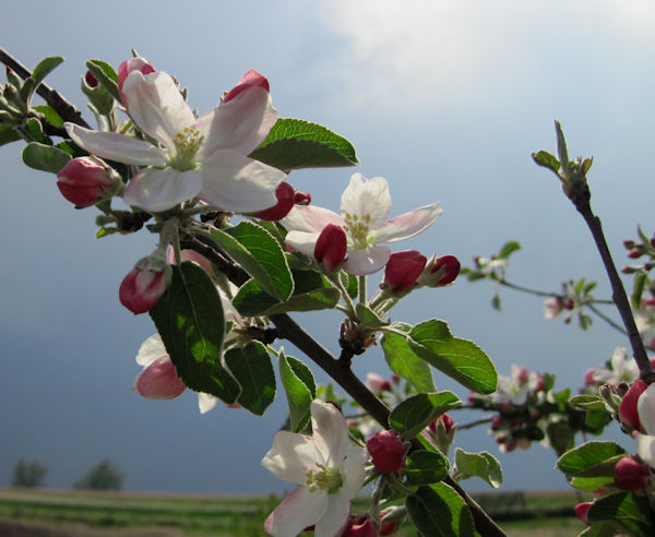 Williams Pride Apple Blossoms