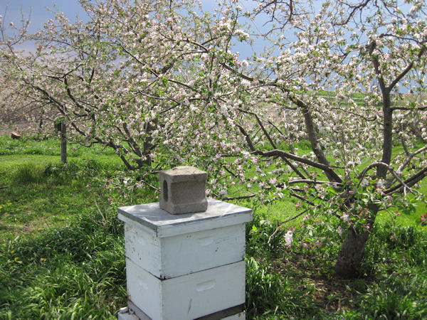 Apple Tree in Bloom by Beehive