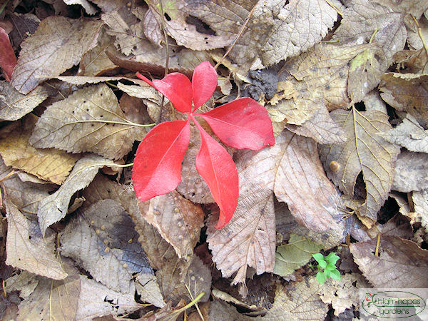 red leaf on brown leaves