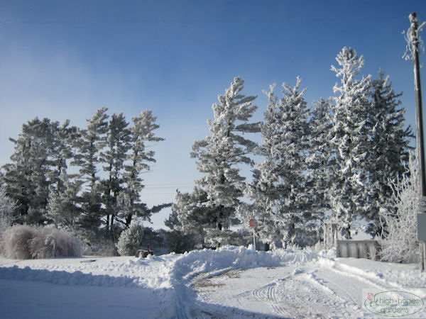 frosty white pines