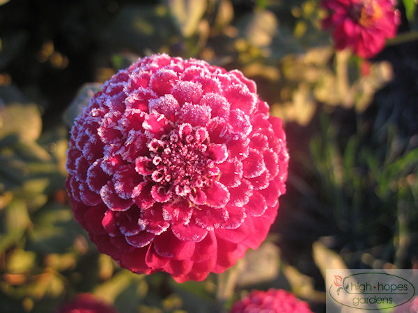 frosty zinnia