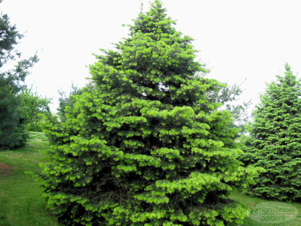 concolor fir