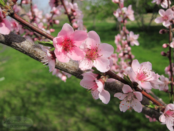 peach blossom