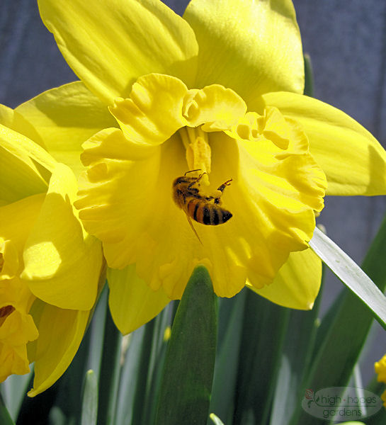 bee pollen sac on daffodil