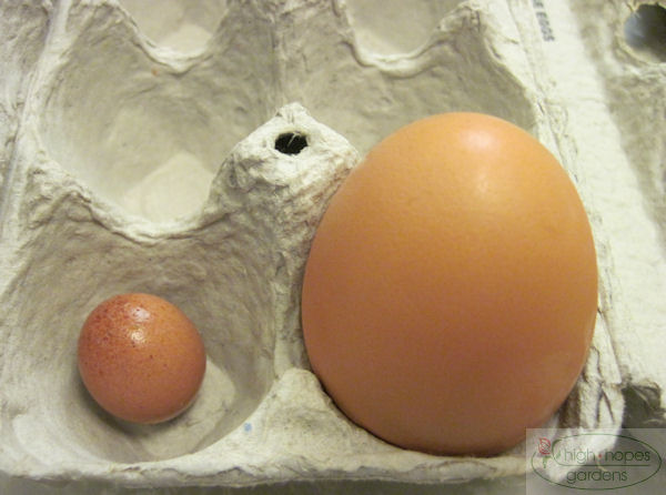 smallest chicken egg