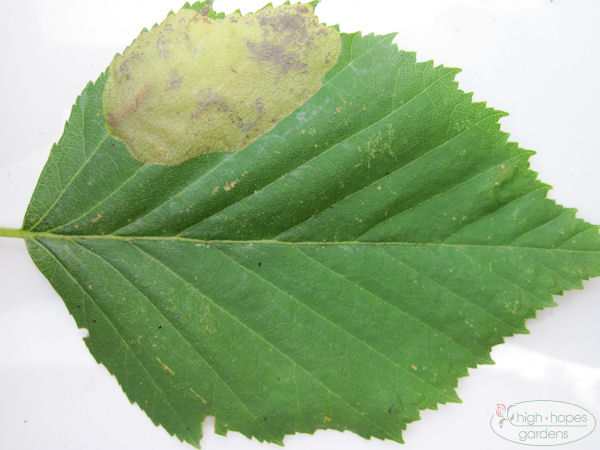 leaf infected with birch leafminer