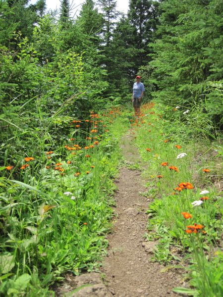 Superior Hiking Trail fireweed