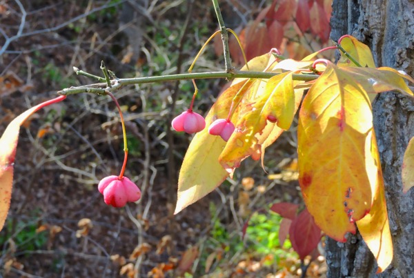 spindle tree, red berries in pink casing