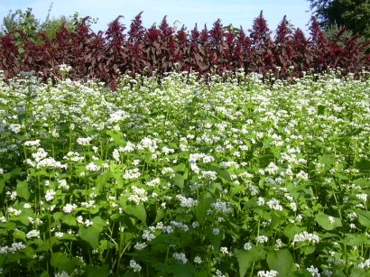 amaranth buckwheat