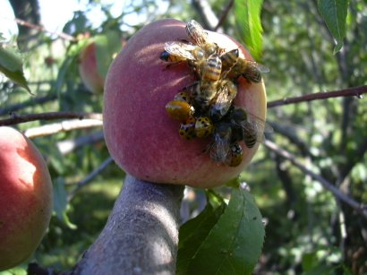 peach on bee